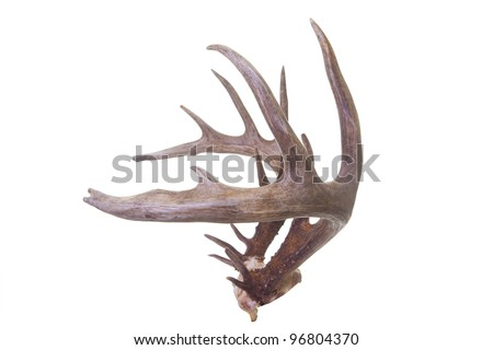 Large set of whitetail buck antlers side view isolated on white background - stock photo