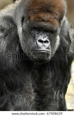 Large Silverback Gorilla Staring