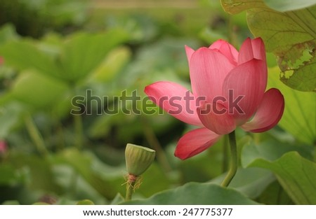 large size lotus, diameter is around 30CM when blooming