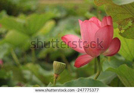 large size lotus, diameter is around 30CM when blooming