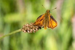 Large Skipper Butterfly (Ochlodes slyvanus) with wings outstretched a brown insect flying in spring stock photo image