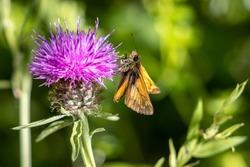 Large Skipper Butterfly (Ochlodes venatus) feeding on a flower in the summer sunshine