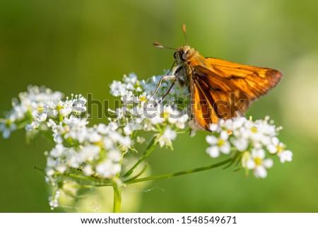 Large Skipper - Ochlodes sylvanus, tiny orange butterfly from European meadows and grasslands, Czech Republic. #1548549671