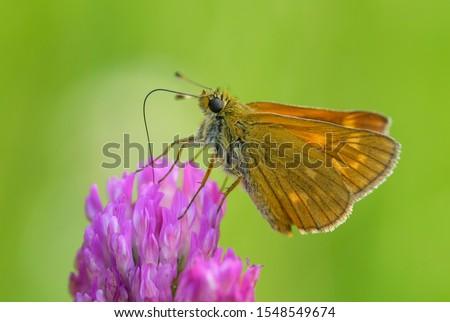 Large Skipper - Ochlodes sylvanus, tiny orange butterfly from European meadows and grasslands, Czech Republic. #1548549674