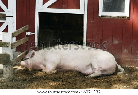 large sleeping pig