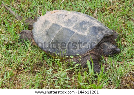 Large snapping turtle, native to Oklahoma, rests in green grass