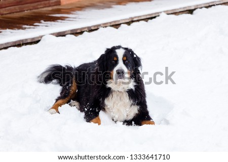 Large solemn looking Bernese mountain dog lying in fresh snow contentedly, with wooden sidewalk in the background