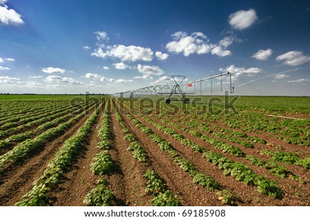 Large squash field and mechanical irrigation system