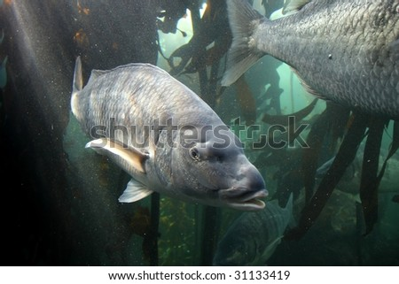 Large steenbras fish off the South African coast