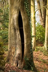 Large stigmata or sore on trunk of a beech tree (Fagus sylvatica)
