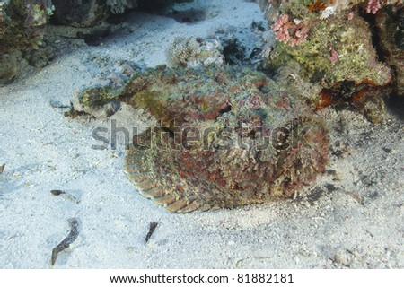 Large stonefish in the Red Sea on a sandy seabed