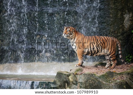 Large striped tiger
