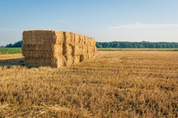Large stubble field with stacked packs of straw after the harvesting of the wheat. The photo was taken near the village of Hank, North Brabant, Netherlands, with low sunlight early in the morning.