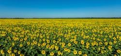 Large sunflower field nature scene. Yellow sunflowers. Sunflower field landscape. Sunflower field against blue sky