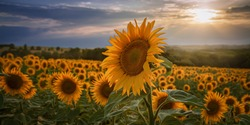 Large sunflower in the sunflower field in front of a beautiful l