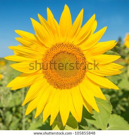 Large Sunflower with Blue sky