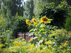 Large sunflowers in the village garden