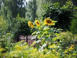 Large sunflowers in the village garden