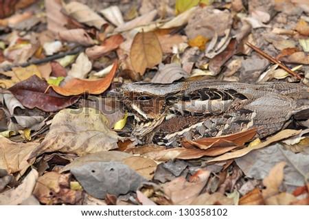 Large-tailed Nightjar Bird are natural camouflage. #130358102