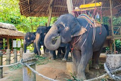 Large Thai elephants with tourist spots on their backs for riding. Summer