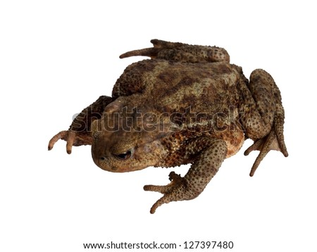 Large toad isolated over white background