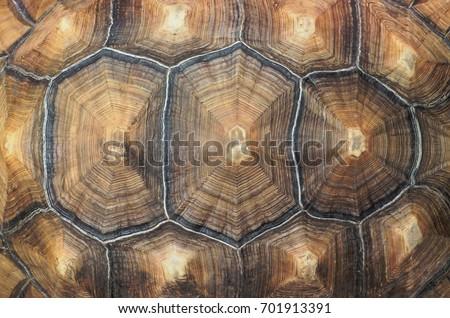 Large tortoise shell