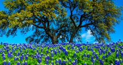 Large Tree behind Spring time Bluebonnet Flowers blooming on a nice sunny day in Central Texas Hill Country outside of Austin, Texas