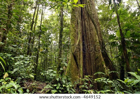 Large tree in Amazon rainforest