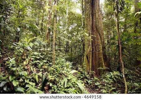 Large tree in Amazon rainforest