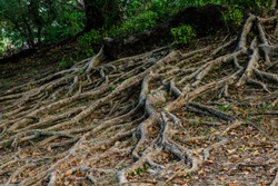 Large tree roots in the forest