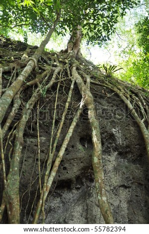 Large tree roots in the primary rainforest- Danum Valley,Sabah ,Borneo- Malaysia, 2010