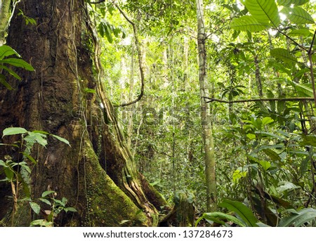 large tree with buttress roots in primary tropical rainforest, Ecuador