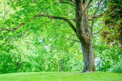 Large Tree With Green Leaf Cover Standing on Green Grass