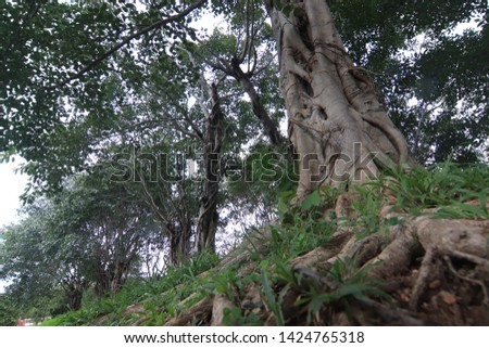 large tree with large roots #1424765318