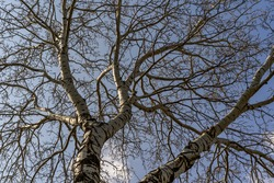Large tree with white bark and a network of barren branches in early spring, with blue sky in the background