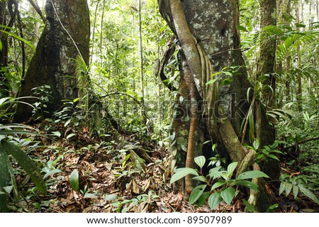 Large trees in the interior of tropical rainforest in Peru with a liana in foreground - stock photo