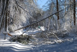 Large trees that fell down because of the winter storm