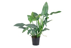Large tropical 'Philodedndron Hastatum Silver Sword' houseplant with large silver-gray colored long leaves in flower pot isolated on white background