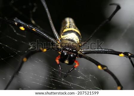 large tropical spider   nephila ...