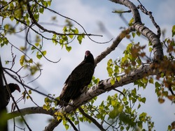 Large turkey vulture (Cathartes aura) bird sitting on a tree branch in spring