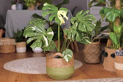 Large variegated tropical 'Monstera Deliciosa Thai Constellation' house plant with beautiful white sprinkled leaves in basket flower pot in living room with many plants in burry background