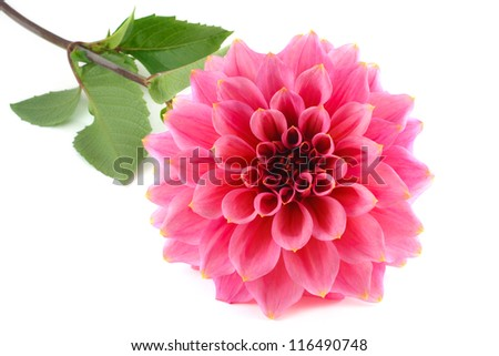 Large variety of pink dahlia isolated on a white background
