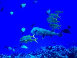 Large variety of tropical fish in including puffer and butterfly fish in blue ocean underwater.