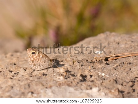 Large Wall Brown Butterfly (Lasiommata maera) resting on a rock