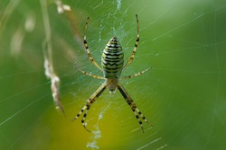 large wasp spider sits on a web on a green background. Argiope Bruennichi, or lat spider wasp. Argiope bruennichi, a species of araneomorph spider. close-up, black-yellow male spider.