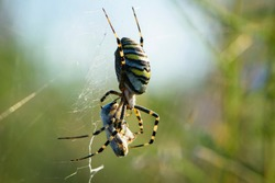 large wasp spider sits on a web on a green background. Argiope Bruennichi, or lat spider wasp. Argiope bruennichi eating his victim, a species of araneomorph spider. macro, black-yellow male spider.