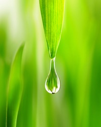 Large water drop rain dew  in spring summer grass close-up macro. Young juicy green Shoots sprouts of wheat in the sunlight