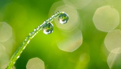 Large water drops of dew with reflecting sun on stem of green grass on light green background with bokeh. Artistic image of beauty and purity of environment.