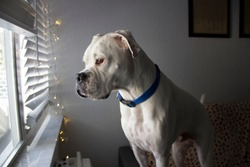 Large white beautiful dog with the blue collar looking at the window