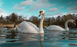 Large White British Mute Swan Swans low water level view close up macro photography on lake in Hertfordshire with canadian geese in background female and male pair